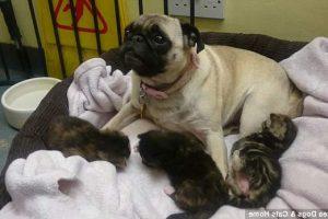 ¡Mama pug por sorpresa! Perro Carlino cuida de tres gatos abandonados
