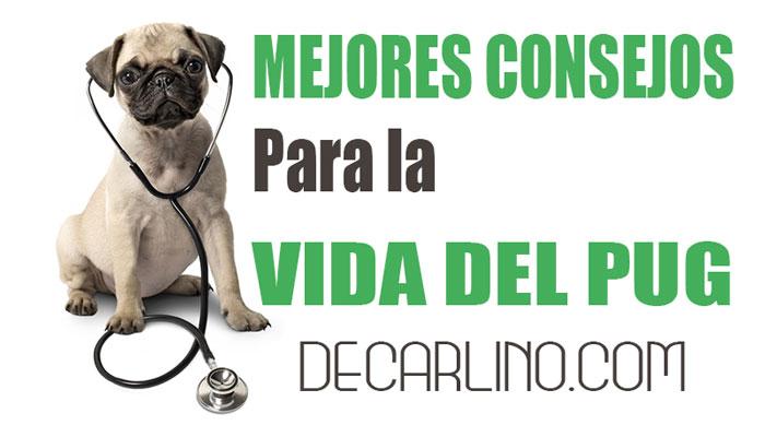 Los Mejores Consejos de Perros Pug Carlino para Mejorar su Vida