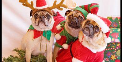Perros pug navideños