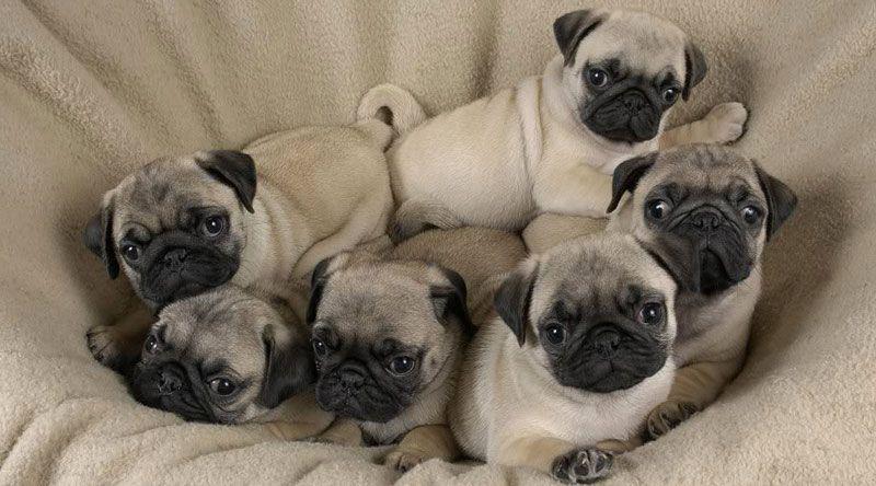 camada de pug bebes cachorros