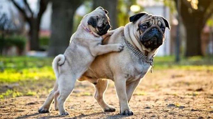 perro carlino pug cachorro y adulto