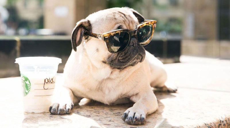 perro pug con gafas