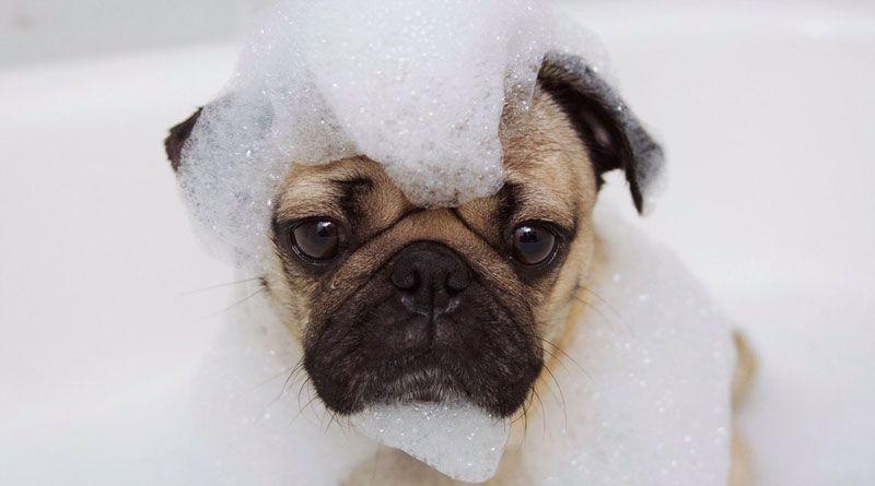 baños con shampoo para sarna en perros