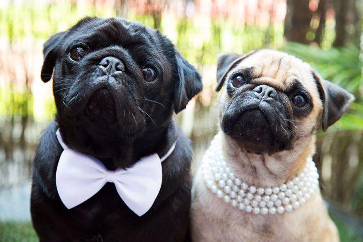 boda perros pug carlino