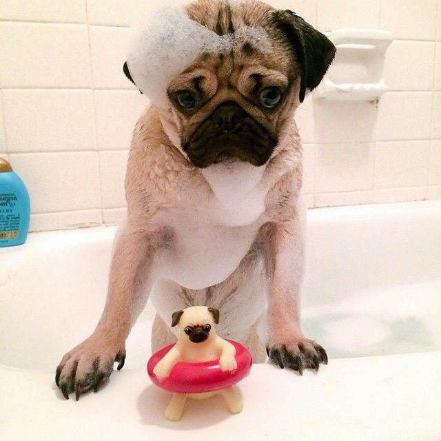 pug carlino en baño