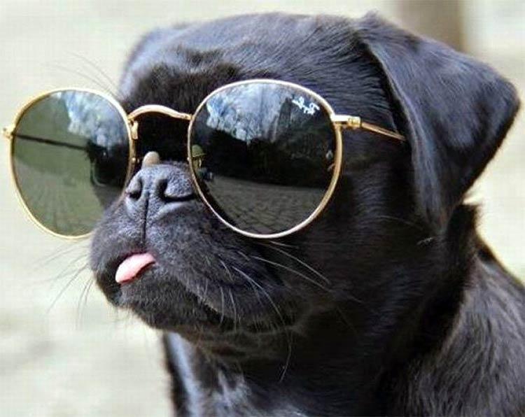pug con gafas