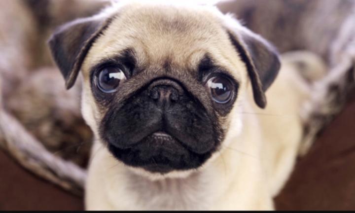 cataratas en perros pug