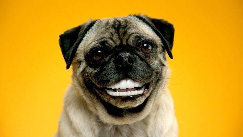 dientes-pug-dentadura limpia limpieza bucal precio