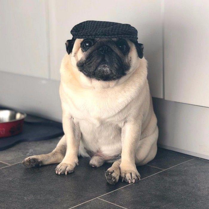 imagen de perro pug