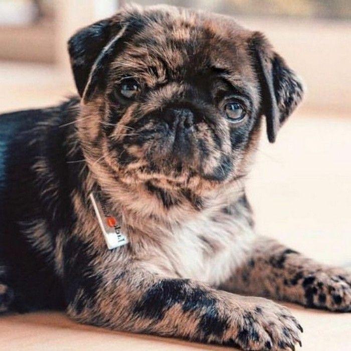 imgenes de perritos pug