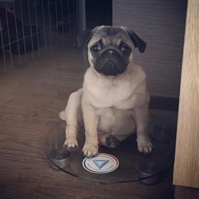 imgenes de perro pug