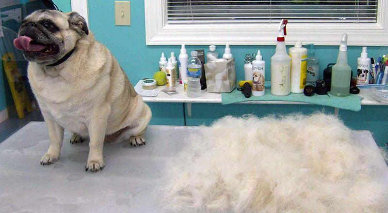 Pug caida de pelo