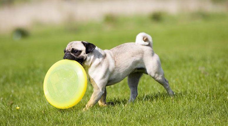 perro con fribee