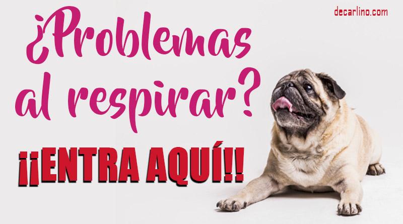 problemas respiratorios en perros Braquicefálicos