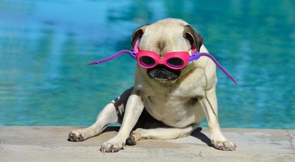 perro pug en piscina