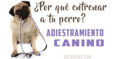 por que entrenar a tu perro adiestramiento canino