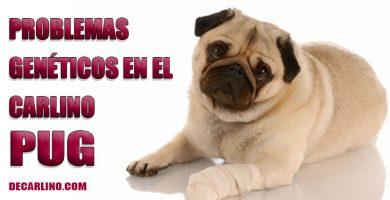 problemas-geneticos-perros-carlino-pug